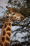 Giraffe 7697 Royalty Free Stock Images