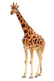 Giraffe. Young African Giraffe - isolated object Stock Photography