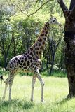 A Giraffe Royalty Free Stock Image