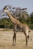 Giraffe. In South Luangwa National Park Stock Images