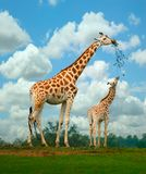Giraffe. A mother and young giraffe share a branch