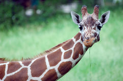 Giraffe. A giraffe in a zoo stretches its neck Royalty Free Stock Photos