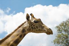 Giraffe Fotos de Stock