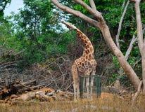 giraffe Fotografia Stock
