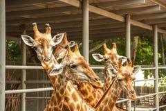 giraffe Stockfotografie