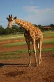 Giraffe. Standing in dirt Stock Image