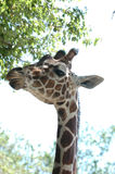 Giraffe # 9 stockfotos