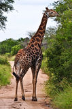 Giraffe. Eating leaves at kruger national park - south africa Stock Photography