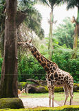 Giraffe. In the national park of Kenya Royalty Free Stock Photos