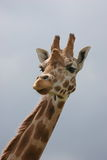 Giraffe. Head and neck in front of plain blue sky stock images