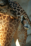 Giraffe. Giving birth Royalty Free Stock Photo