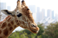 Giraffe. Nosey giraffe at taronga Zoo in Sydney Stock Photos