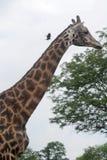 giraffe fotografie stock libere da diritti