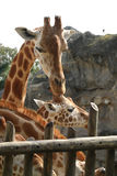 Giraffe. Nosey giraffe at taronga Zoo in Sydney Stock Image