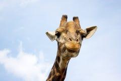 giraffe Stockbilder