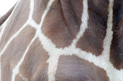Giraffe fur closeup Stock Image