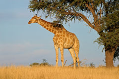 Giraffe and Acacia tree Royalty Free Stock Photo