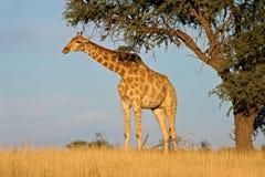 Giraffe and Acacia tree royalty free stock photo
