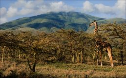 Giraffe in acacias. Stock Photos