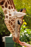 Giraffe accepts carrot from a human's hand Stock Photography