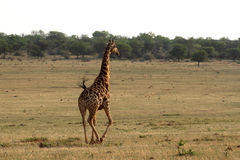 Giraffe in action. Royalty Free Stock Image