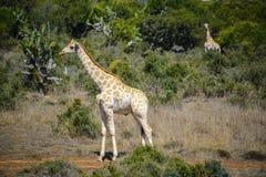 Giraffe in Addo Elephant National Park, Südafrika Stockbild
