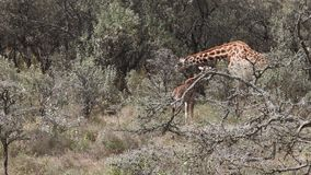 Giraffe Adult With Young Walking In Savanna stock video