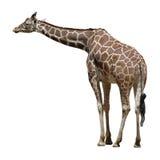 Giraffe adulte d'isolement sur le blanc Photographie stock