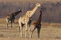 Giraffe affection Stock Image