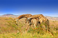 Giraffe affection Stock Photos