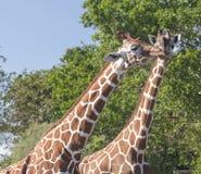 Giraffe affettuose Immagini Stock