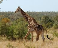 Giraffe in Africa Stock Image