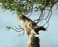 Giraffe in Africa Stock Photo