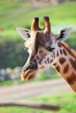 Giraffe in Africa Stock Images