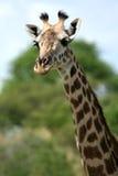 Giraffe - Africa Stock Image