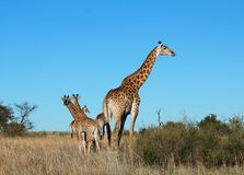 Giraffe in Africa. Giraffe in the bushveld of South Africa, one female with calves Royalty Free Stock Photo