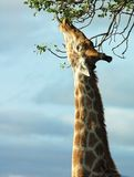 Giraffe in Africa. Giraffe in the bushveld of South Africa reaching high for the best leaves Stock Image