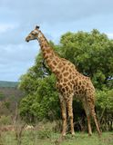 Giraffe in Africa. Male Giraffe with battle scars on the neck in the bushveld of Kruger Park, South Africa Stock Images