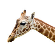 Giraffe in africa Stock Photography