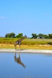 Giraffe. Africa botswana bush giraffe silhouette royalty free stock photography