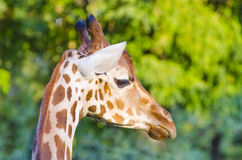 Giraffe in Africa Royalty Free Stock Images