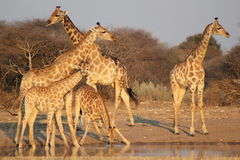 Giraffe - Africa's Golden Patterns 2. A family of Giraffes at a watering hole at sunset - taken on a Game Ranch in Namibia, Africa Royalty Free Stock Photography