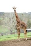 Giraffe in africa on a safari. Giraffe in africa whail on a safari Royalty Free Stock Photography