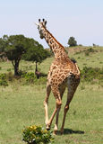 Giraffe in Africa. Some giraffes in a national park in Africa Stock Photos