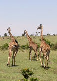 Giraffe in Africa Stock Photos