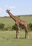 Giraffe in Africa. Some giraffes in a national park in Africa stock image