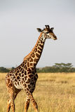 Giraffe in Africa. Giraffe walking on the field in Africa Royalty Free Stock Photography
