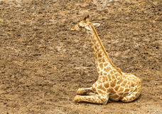 Giraffe africaine de repos images libres de droits
