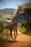 Giraffe in the African bush. In Kenya stock image