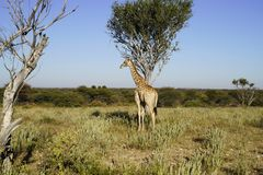 Giraffe in African bush-veld landscape with acacia tree under clear blue sky at Okonjima Nature Reserve, Namibia. Giraffe in African bush-veld landscape with Stock Photos